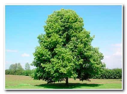 Банный отвар липы – крона дерева