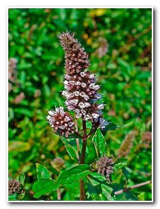 Отвар мяты для бани – цветки мяты перечной