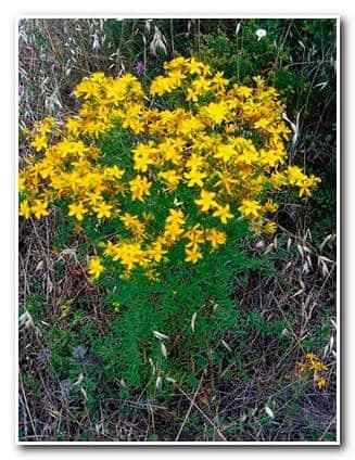 Отвар зверобоя – внешний вид растения