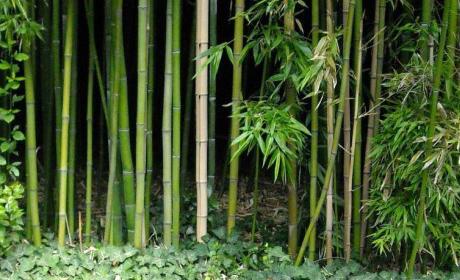 Бамбук для банного веника